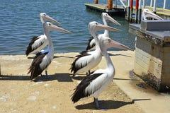 Пеликаны на береге в городском центре Mallacoota Стоковое фото RF