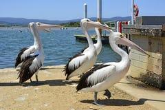 Пеликаны на береге в городском центре Mallacoota Стоковые Изображения RF