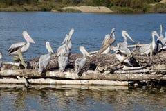 Пеликаны на море стоковая фотография