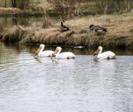 Пеликаны на озере с гусынями стоковое изображение rf
