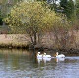 Пеликаны на озере Стоковая Фотография