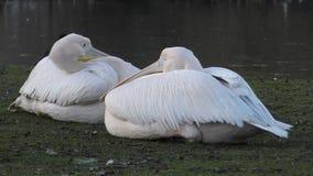 Пеликаны на озере видеоматериал