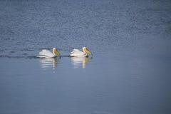 Пеликаны на озере Стоковые Фотографии RF