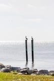 Пеликаны на подсвеченных столбах Стоковое Фото