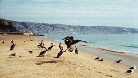 Пеликаны на пляже valparaiso стоковая фотография