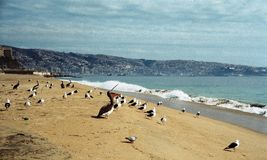Пеликаны на пляже valparaiso стоковые фотографии rf