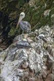 Пеликаны на утесах Стоковое Изображение