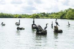 Пеликаны на утесах Стоковое Фото