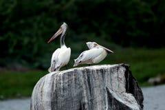 Пеликаны на утесе Стоковые Изображения RF
