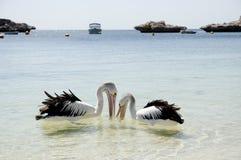 Пеликаны - остров Rottnest - Австралия стоковое изображение