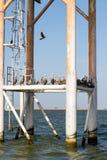 Пеликаны отдыхая на структуре в океане стоковые изображения