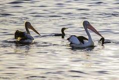 Пеликаны похитителя Стоковое Фото
