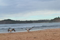 Пеликаны поднимая стоковые изображения rf