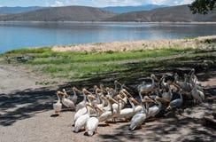 Пеликаны предвидя выдаваемый стоковая фотография