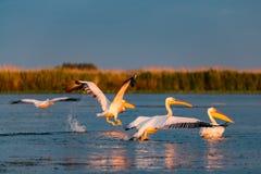 Пеликаны приземляясь в перепад Dunarii, Румынию стоковое изображение rf