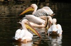 Пеликаны плавая в озере Стоковое Изображение
