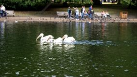 Пеликаны плавая в озере видеоматериал
