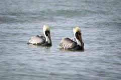 Пеликаны плавая в океан Стоковое фото RF