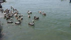 Пеликаны плавая на море в Ancon, Лиме Стоковое Изображение