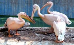 пеликаны румяные стоковое фото rf