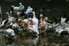 Пеликаны сидят на журнале который в озере стоковые изображения