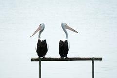 Пеликаны смотря вокруг Стоковая Фотография RF