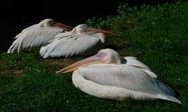 Пеликаны спать Стоковая Фотография