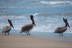 Пеликаны Техаса на побережье мексиканского залива стоковая фотография rf