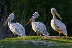 Пеликаны стоковые фотографии rf