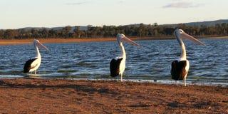 пеликаны 3 Стоковые Фотографии RF