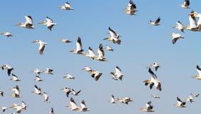 пеликаны стоковое фото rf
