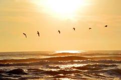пеликаны Стоковое Изображение