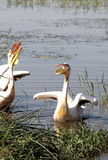 пеликаны стоковое изображение rf