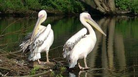 пеликаны видеоматериал