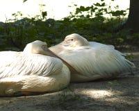 пеликаны Стоковая Фотография