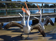 пеликаны стоковые фото