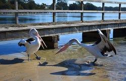 пеликаны стоковая фотография rf