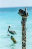 Пеликаны Arubian Стоковые Фотографии RF
