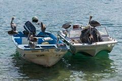 Пеликаны Cabo стоковая фотография