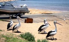Пеликаны @ Dee почему стоковые изображения