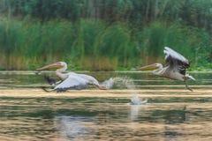 пеликаны pelecanus onocrotalus белые Стоковое Изображение RF