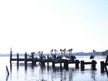 Пеликаны Toukley стоковое изображение