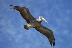 Пеликан Брайна Стоковое фото RF