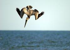 Пеликан Брайна на охоте стоковое изображение