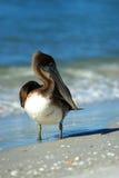 Пеликан Брайна на пляже Lido Стоковое фото RF