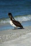 Пеликан Брайна на пляже Lido Стоковая Фотография RF