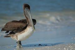 Пеликан Брайна на пляже Lido Стоковая Фотография