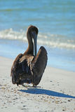 Пеликан Брайна на пляже Lido Стоковое Фото