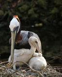 Пеликан Брайна с растущими цыпленоками Стоковые Изображения