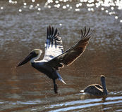 Пеликан Брайна удя над рекой Стоковое Изображение RF